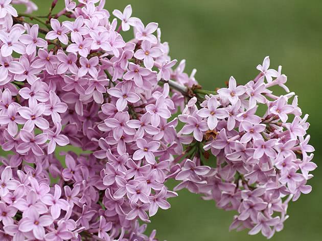 Сирень персидская (Syringa x persica)