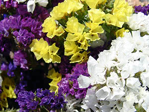 Выращивание статицы или кермека в саду
