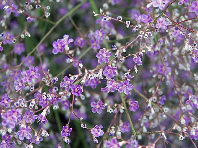 Кермек широколистный (Limonium latifolium)