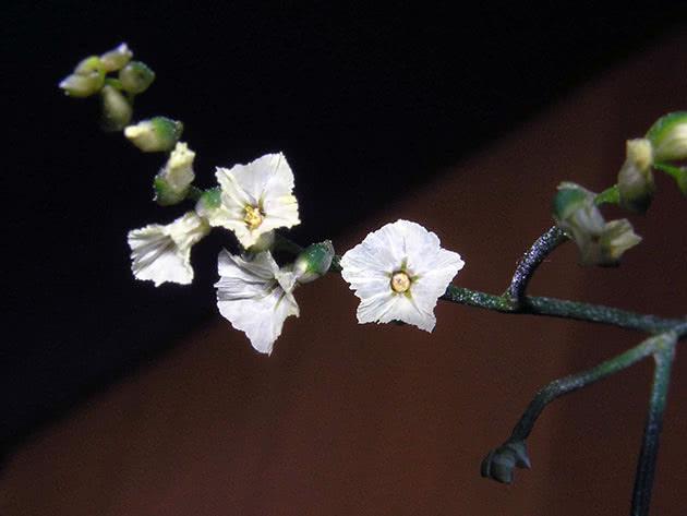 Кермек китайский (Limonium sinensis)
