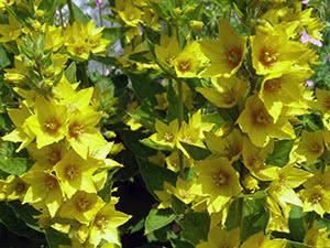 Квітка вербозілля