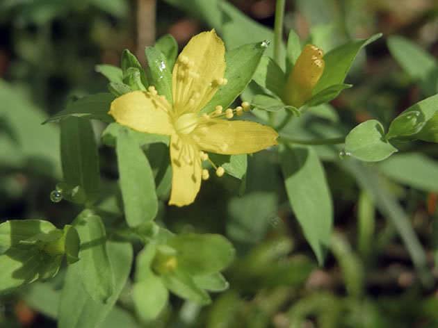 Вербейник дубравный (Lysimachia nemorum)