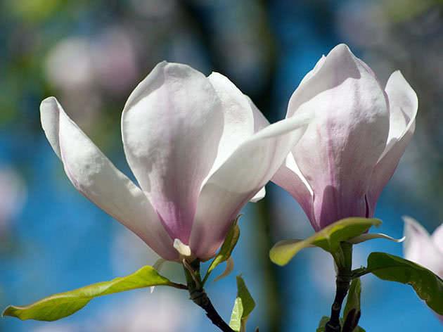 Цвітіння магнолії в саду