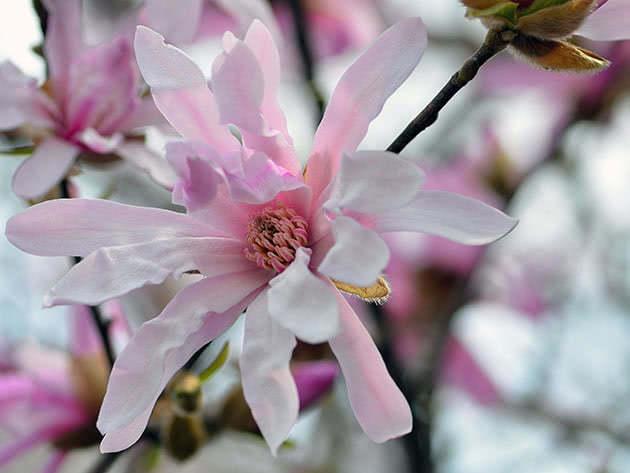Як саджати магнолію і доглядати за нею в саду