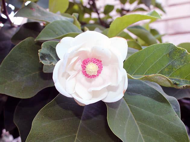 Магнолія Зібольда (Magnolia sieboldii)