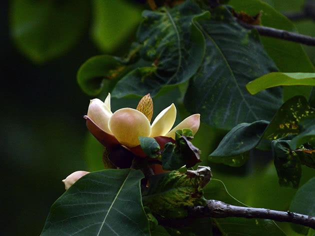 Магнолія оберненояйцеподібна (Magnolia obovata)