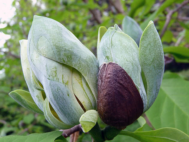 Магнолія гостролиста (Magnolia acuminata)