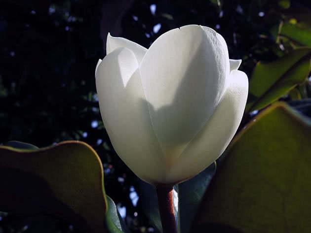 Магнолія великоквіткова (Magnolia grandiflora)