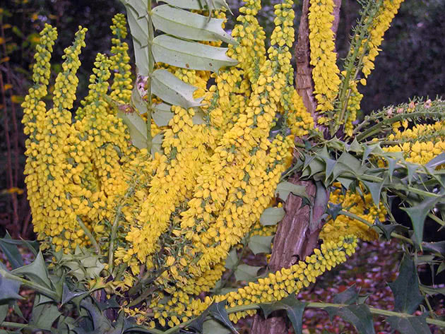 Магония ломариелистная (Mahonia lomariifolia)