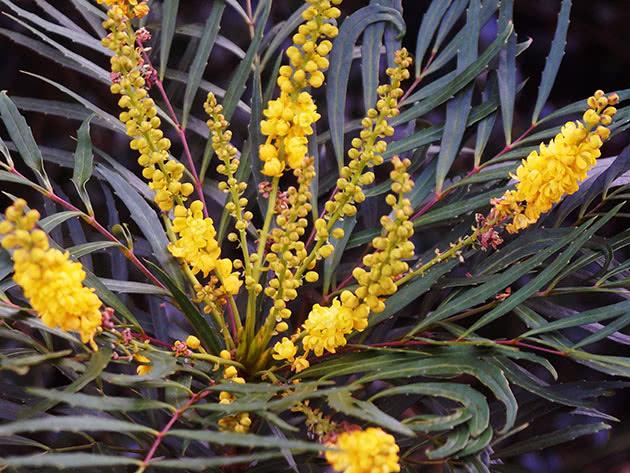 Магония прицветниковая Софт Кэрэсс (Mahonia eurybracteata Soft Caress)