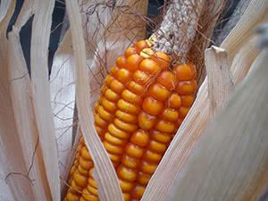 Вирощування кукурудзи – посадка і догляд