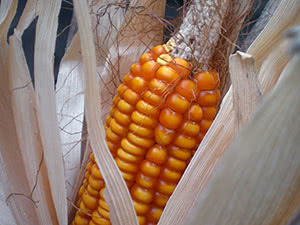 Выращивание кукуруза – посадка и уход