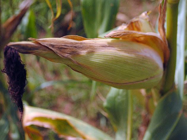 Как собирать и хранить урожай кукурузы