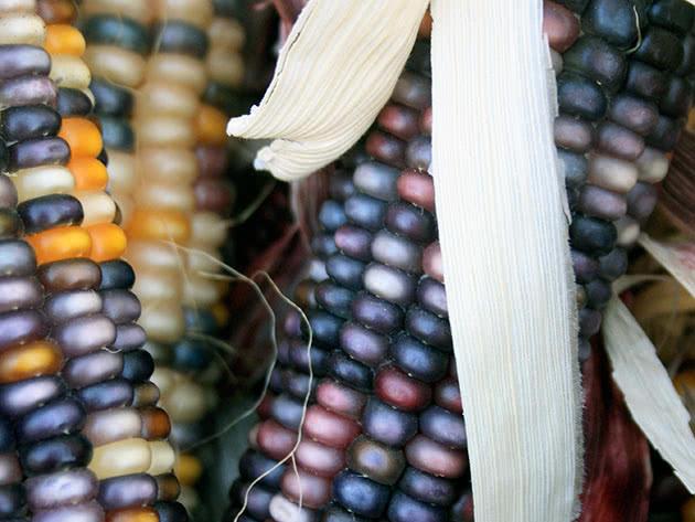 Как и когда сажать кукурузу на огороде