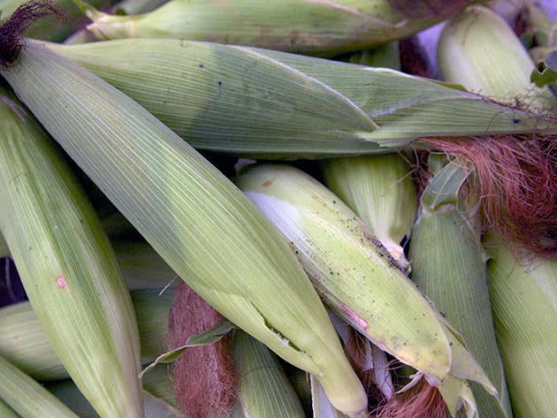 Как вырастить и посадить кукурузу