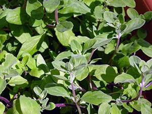 Растение майоран
