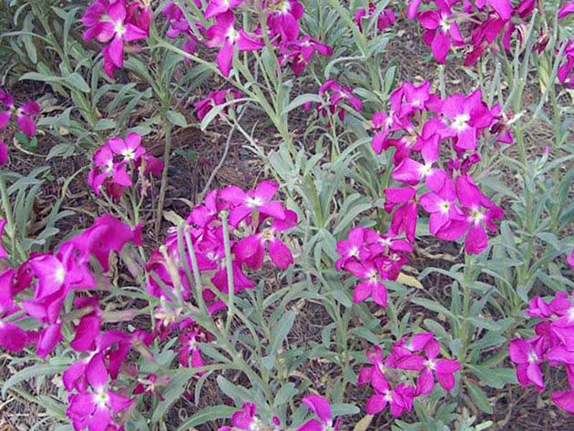 Цветение левкоя в саду (маттиолы)