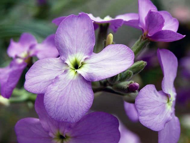 Цветок маттиола или левкой