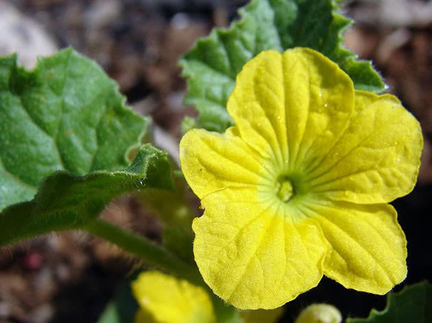 Як цвіте диня – квітка