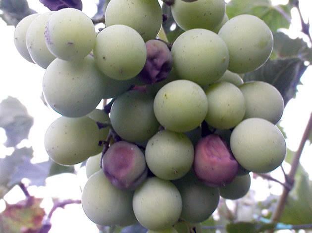 Як позбутися від мілдью на винограді