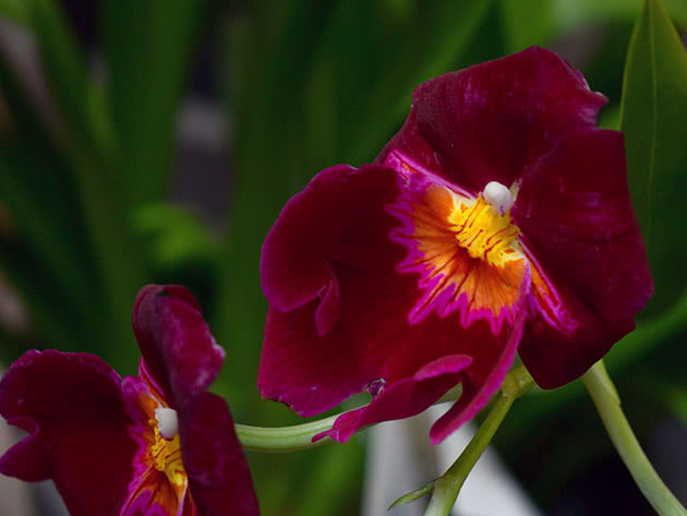 Как вырастить орхидею мильтонию