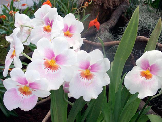 Как правильно выращивать орхидею мильтонию