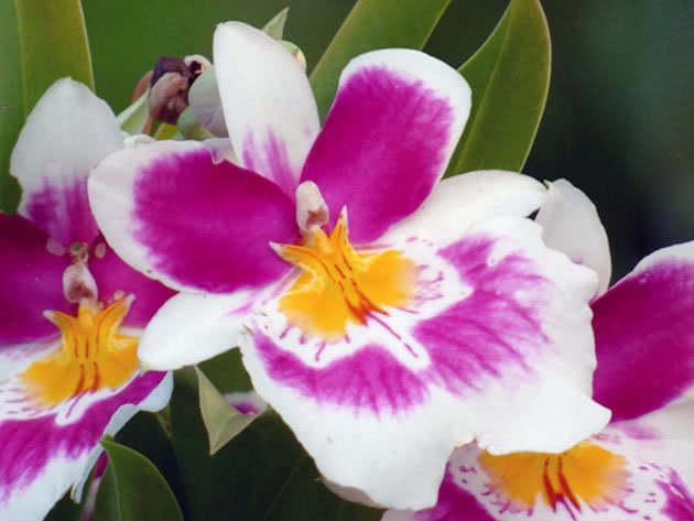 Полив и пересадка орхидеи мильтония