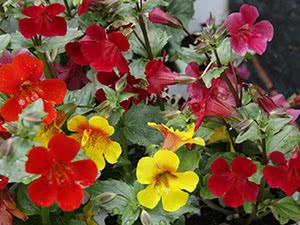 Цветок мимулюс или губастик