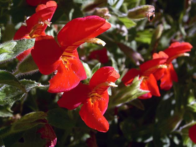 Губастик червоний (Mimulus cardinalis)