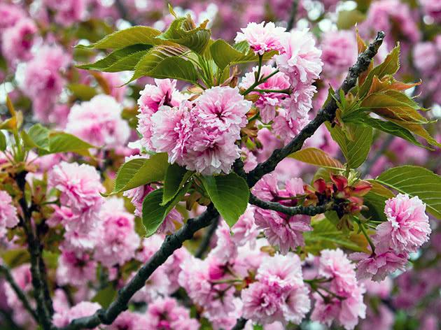 Цвітіння декоративного мигдалю в саду