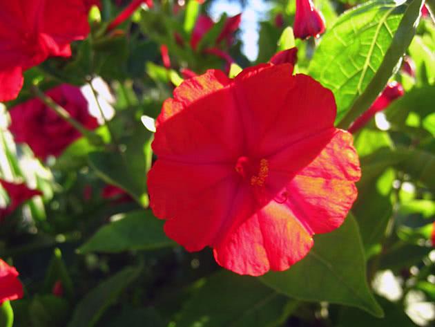 Виды и сорта мирабилиса садового