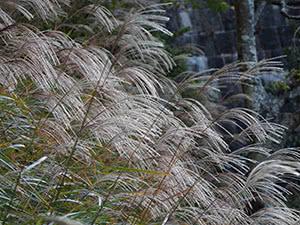 Растение мискантус