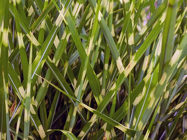 Міскантус китайський / Miscanthus sinensis