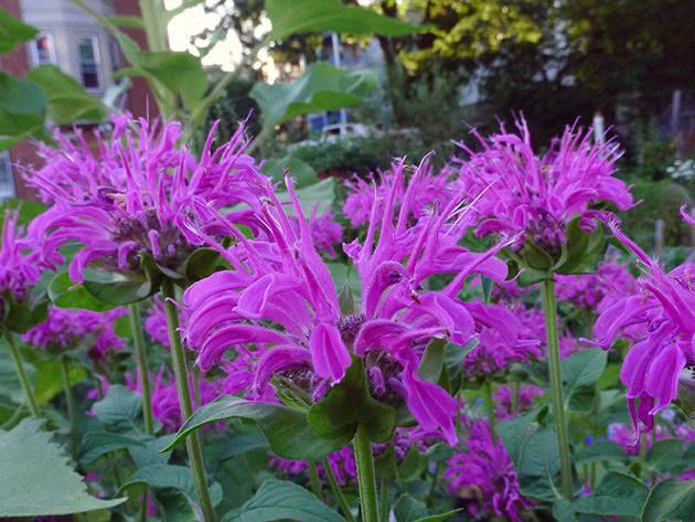 Planting and care for monarda