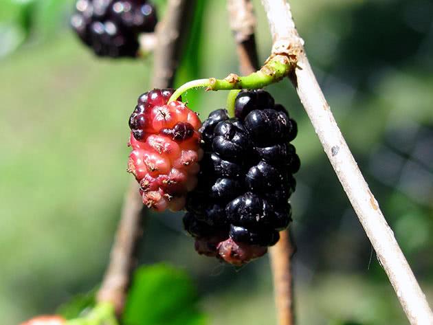 Крупная ягода шелковицы