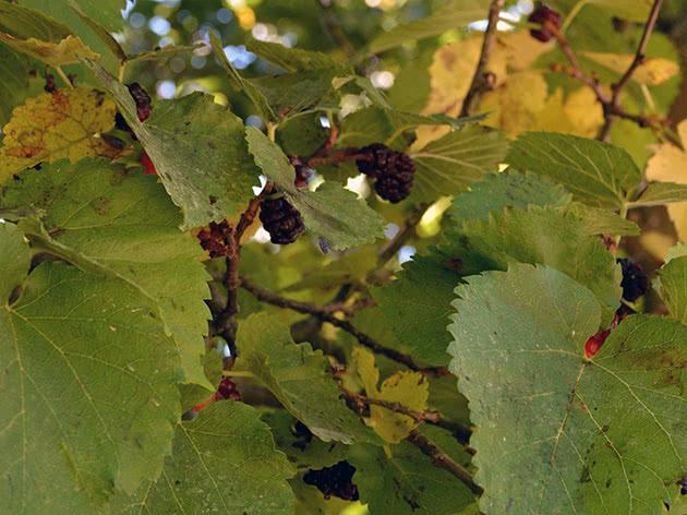 Листья шелковицы или тутовника