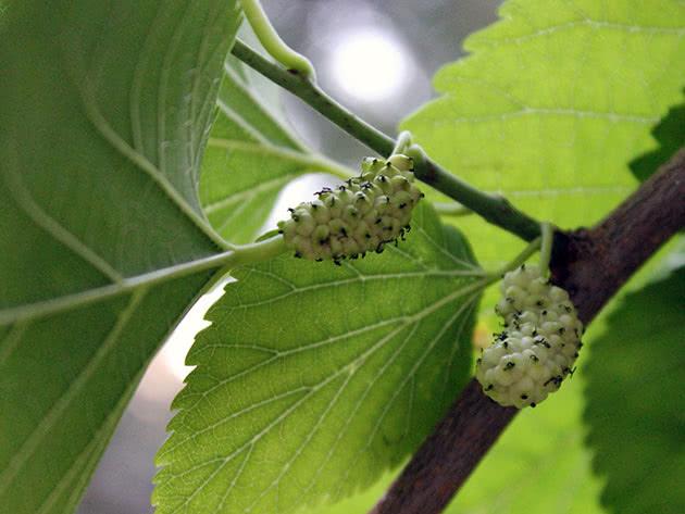 Размножение шелковицы в саду