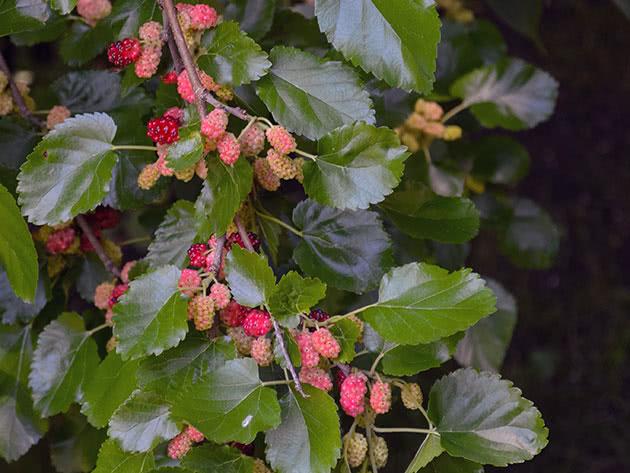 Шелковица созревает на дереве