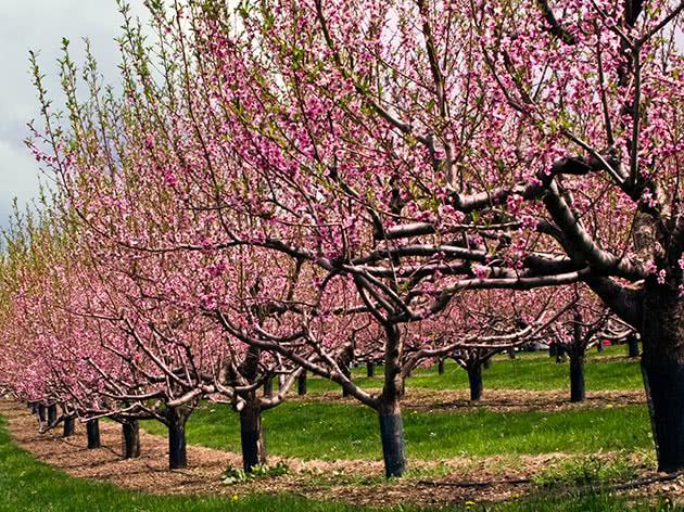 Нектариновый цветущий сад