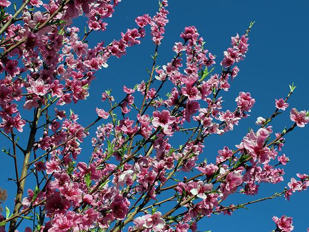Цветущий нектарин в саду