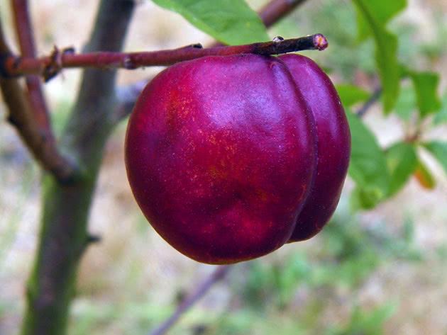 Как посадить и ухаживать за нектарином