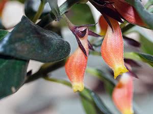 Цветок нематантус (гипоцирта)