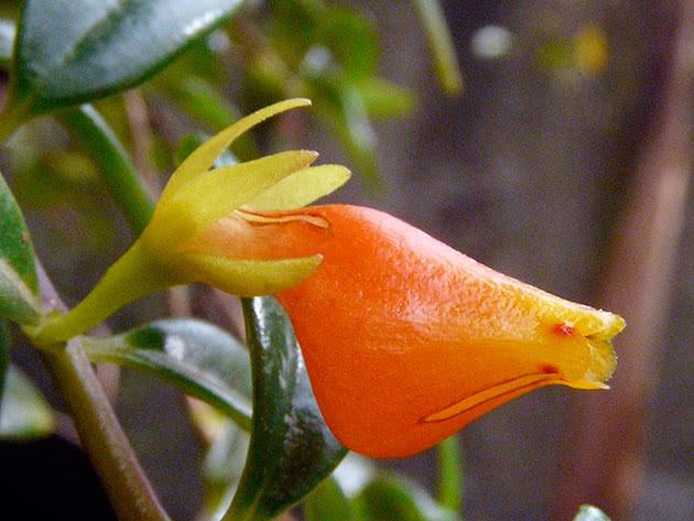 Нематантус Ветстайна (Nematanthus wettsteinii)