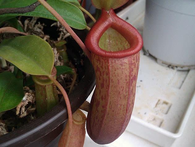 Непентес большой (Nepenthes maxima)
