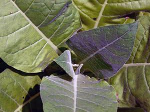 Вирощування курильного тютюну в саду