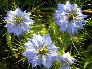 Квітка нігелла