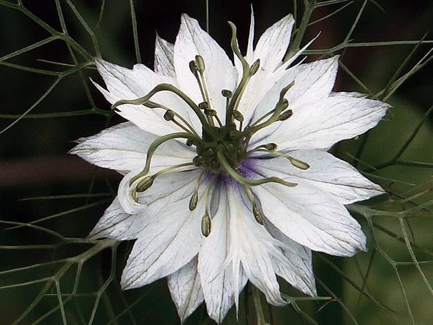 Растение нигелла