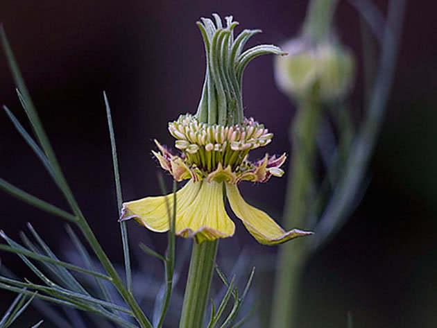 Нигелла восточная (Nigella orientalis)