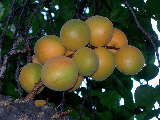 Осенняя обрезка абрикосы