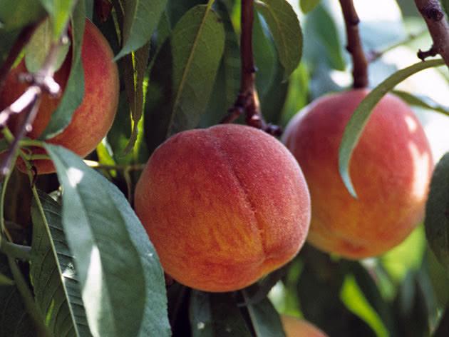 Осенняя обрезка персика